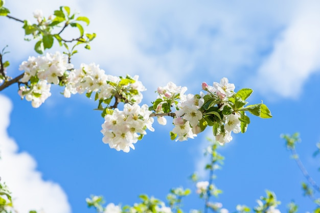 Flores de un árbol una manzana