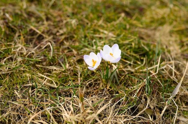 Flores azafranes en flor, de color blanco lila, crecen sobre la hierba seca.