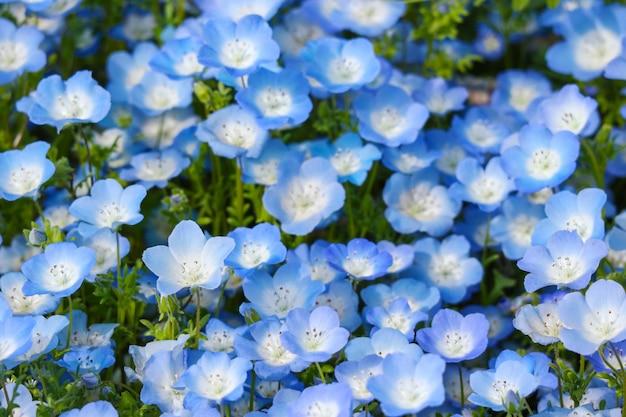 Las flores azules del nemophila aterrizan en el parque de playa de hitachi en estación de primavera.