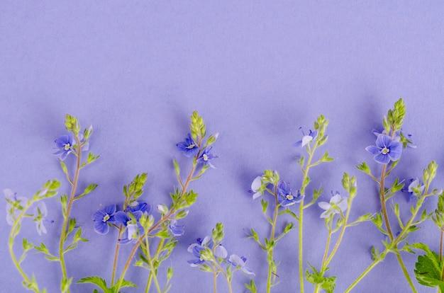 Flores azules de veronica sobre lila.