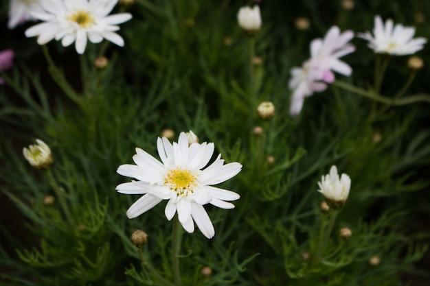 Flores blancas de la aguja española del primer en fondo verde