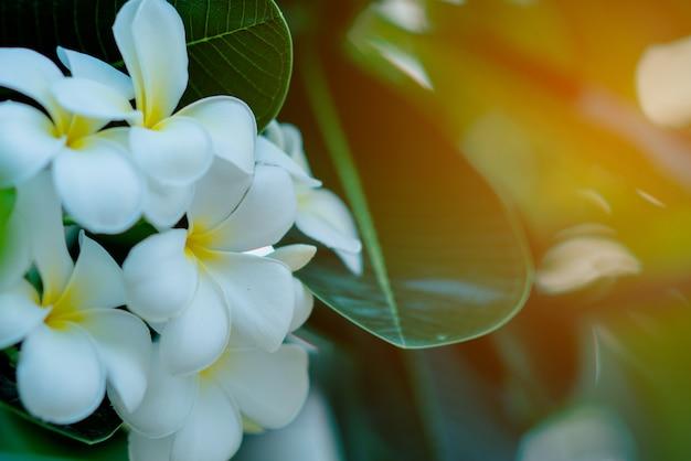 Flores blancas y amarillas del plumeria en un árbol con el fondo de la puesta del sol
