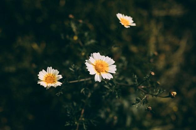 Flores blancas con capullo en primavera.