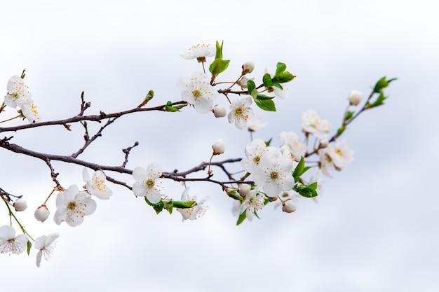 Flores blancas de cereza a la luz del sol en la primavera