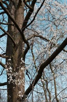 Flores blancas del cerezo en spring garden sobre fondo de cielo azul