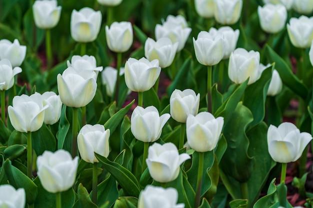 Las flores blancas coloridas hermosas de los tulipanes florecen en jardín de la primavera.