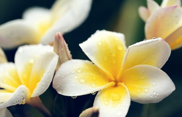 Flores blancas de frangipani con gotas de agua.