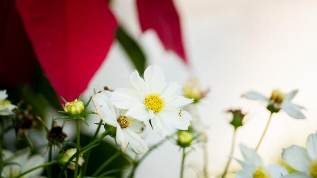 Flores blancas hermosas del cosmos salvaje en jardín