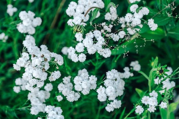 Flores blancas que florecen en un jardín. vista superior.