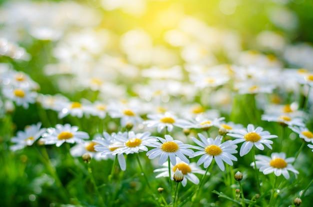 Flores blancas rosadas en los campos de hierba verde con el sol brillando.