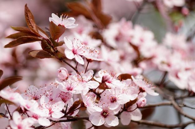 Flores de cerezo en flor en un árbol