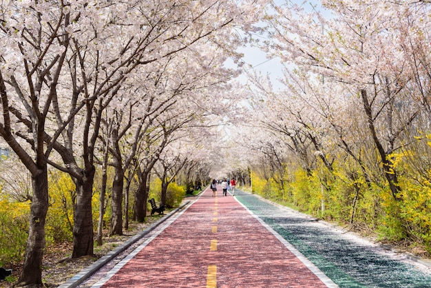Las flores de cerezo florecen a ambos lados del camino en primavera.