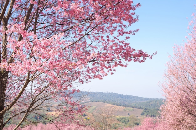 Flores de cerezo del himalaya silvestre en la temporada de primavera