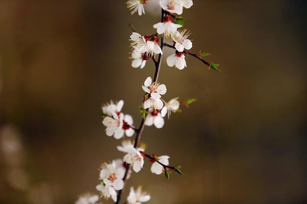 Flores de cerezo de primavera, sakura almendra flores rosadas