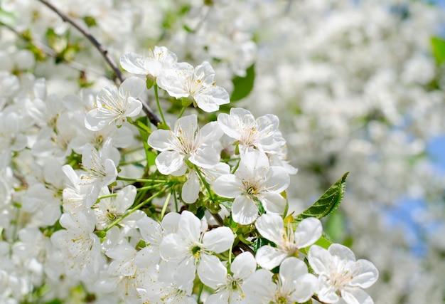 Flores de cerezo. primer plano de flores blancas de primavera. fondo estacional de primavera enfoque suave.