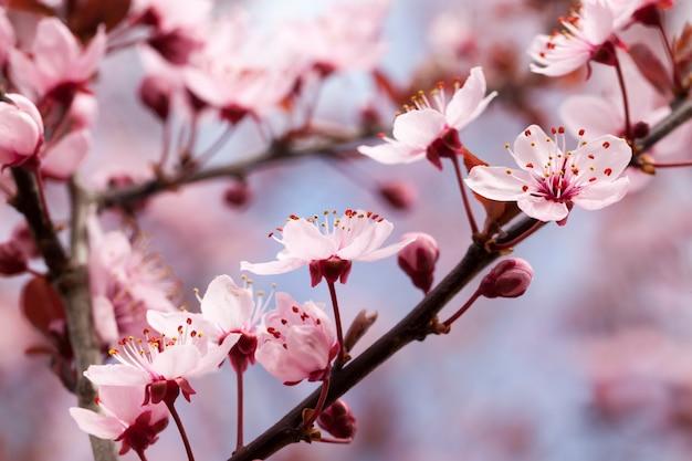 Flores de cerezo rojo