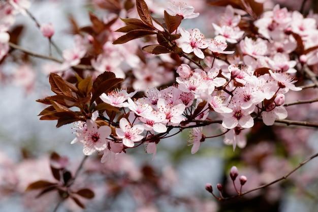 Flores de cerezo rosa en flor en un árbol con fondo borroso en primavera