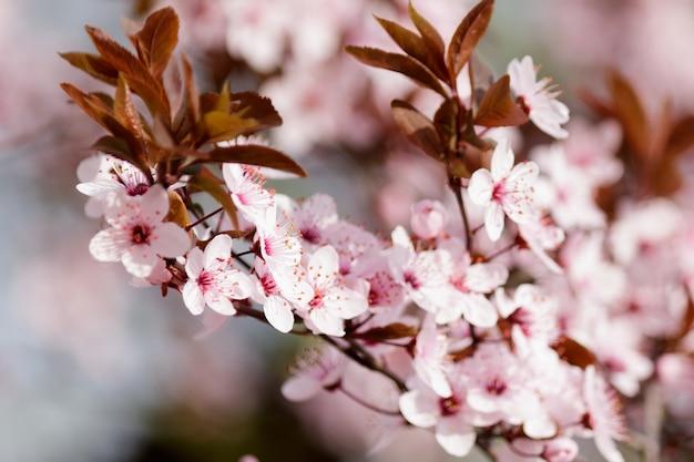 Flores de cerezo rosa en flor en un árbol