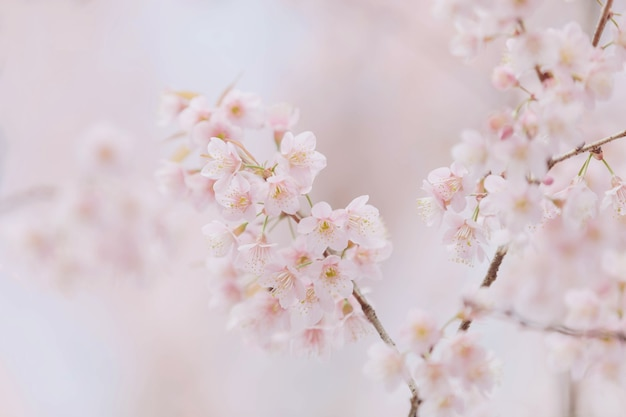 Flores de cerezo rosa