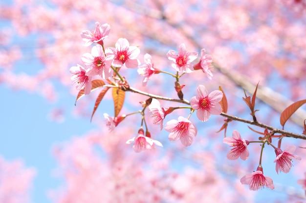 Flores de cerezo silvestres del himalaya en la temporada de primavera, prunus cerasoides, pink sakura flower al fondo
