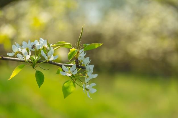 Flores de cerezo sobre fondo de naturaleza borrosa