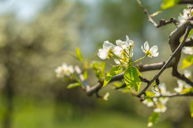 Flores de cerezo sobre naturaleza borrosa