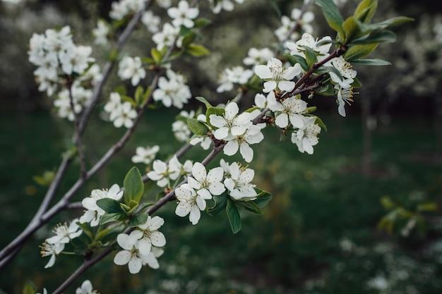 Flores de los cerezos en flor en un día de primavera