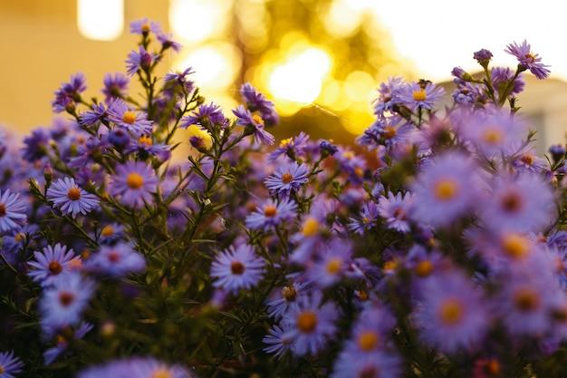 Flores de color púrpura en la naturaleza con una puesta de sol luces.