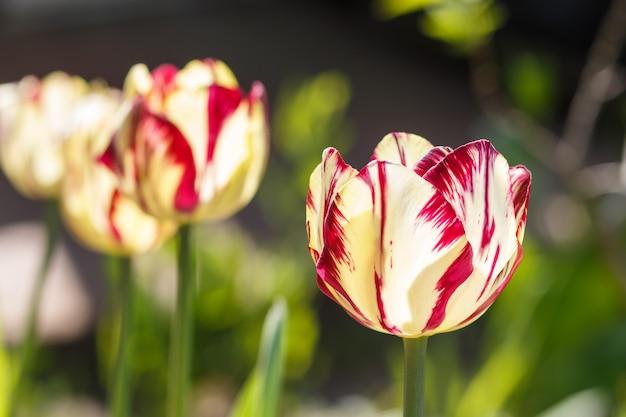 Las flores color de rosa y blancas hermosas del tulipán con verde empañaron el fondo.
