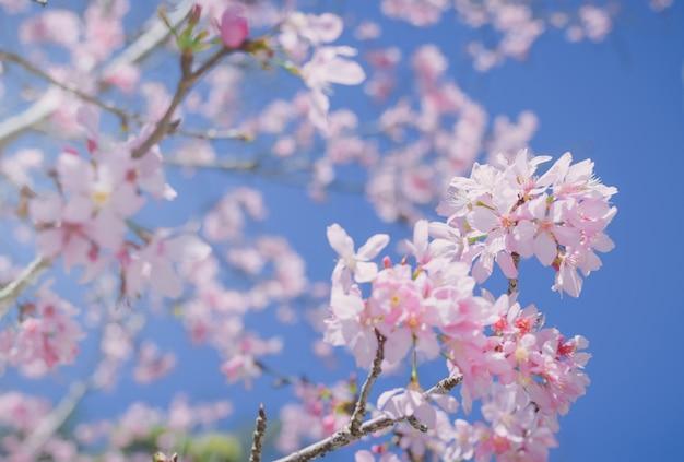 Flores de color rosa en la rama con cielo azul durante la floración de primavera
