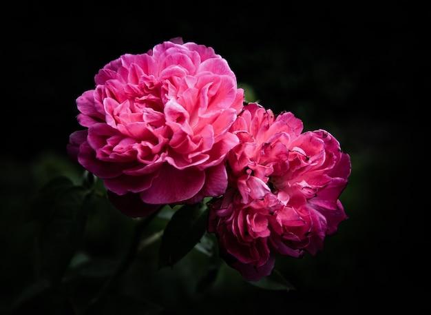 Flores color de rosa tonos oscuros naturales.