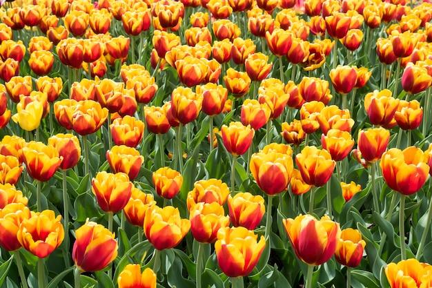 Flores coloridas de los tulipanes que florecen en un jardín