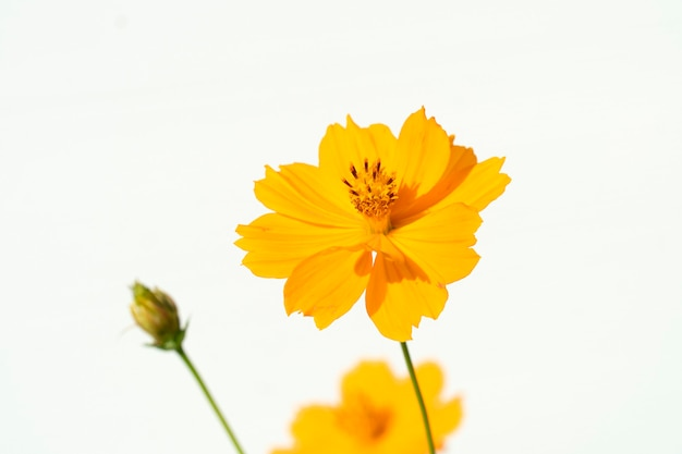 Flores cosmos amarillas sobre un fondo blanco.