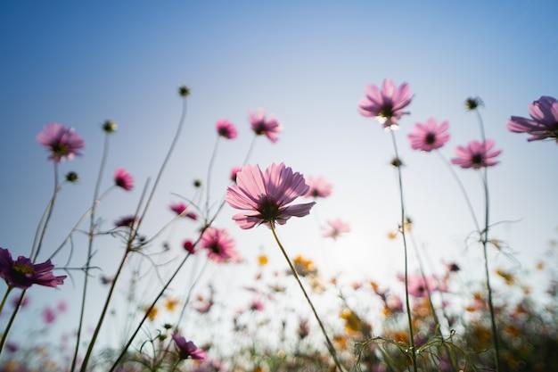 Flores de cosmos en el jardín