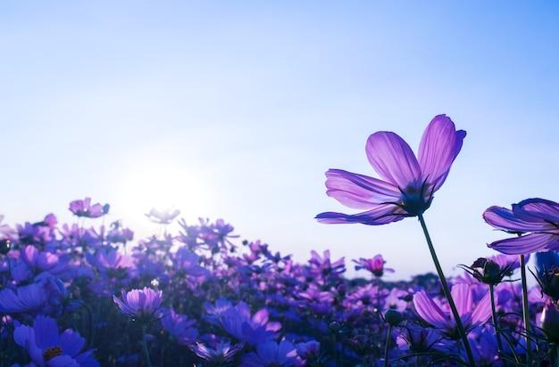 Las flores del cosmos púrpura en el jardín florecen suavemente en verano la puesta de sol