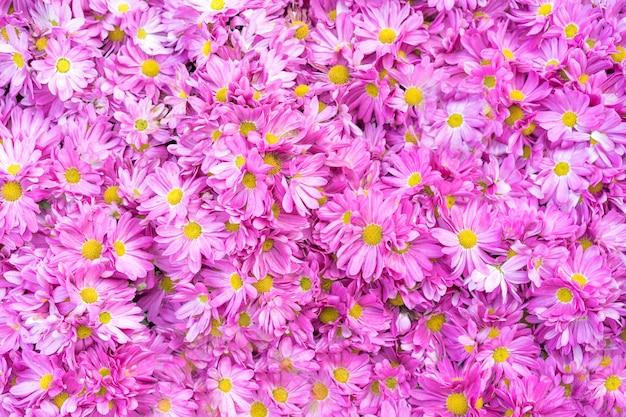Flores de crisantemo como primer plano, crisantemos rosados