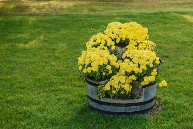 Las flores del crisantemo florecen en otoño en el jardín de flores. hermosos colores flores de crisantemo de cerca