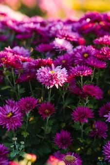 Las flores de crisantemo hermosas de color púrpura brillante florecen en el otoño en el jardín