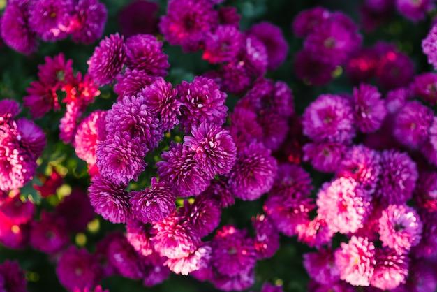 Flores de crisantemo hermoso púrpura brillante en el jardín