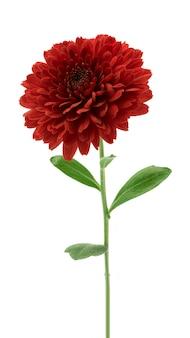 Flores de crisantemo rojo aislado en blanco