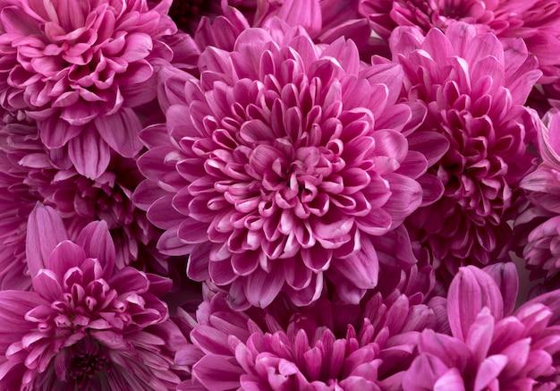 Flores de crisantemo rosa