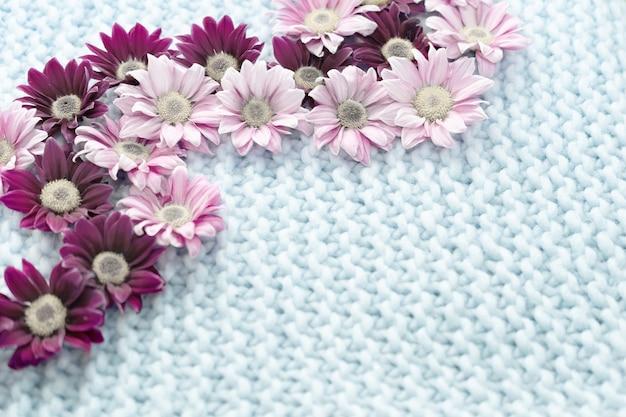 Las flores del crisantemo rosado y burdeos se encuentran en una alfombra azul de lana merino