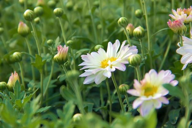 Flores de crisantemos blancos