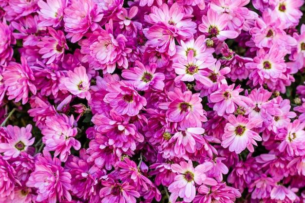 Flores de crisantemos morados y rosados.