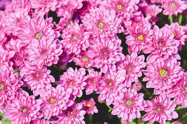 Flores de dalia rosa o púrpura vívidas flores de crisantemo de cerca