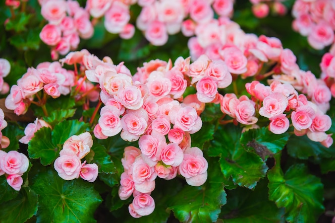 Flores de begonia