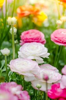 Flores de ranúnculo persa (ranúnculo)