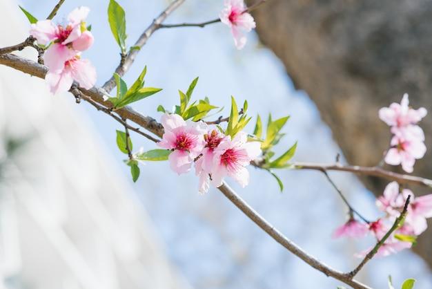 Flores de durazno en una rama en un día soleado de primavera. enfoque selectivo