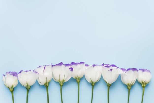 Flores eustoma