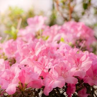 Las flores florecen azaleas, brotes de rododendro rosa